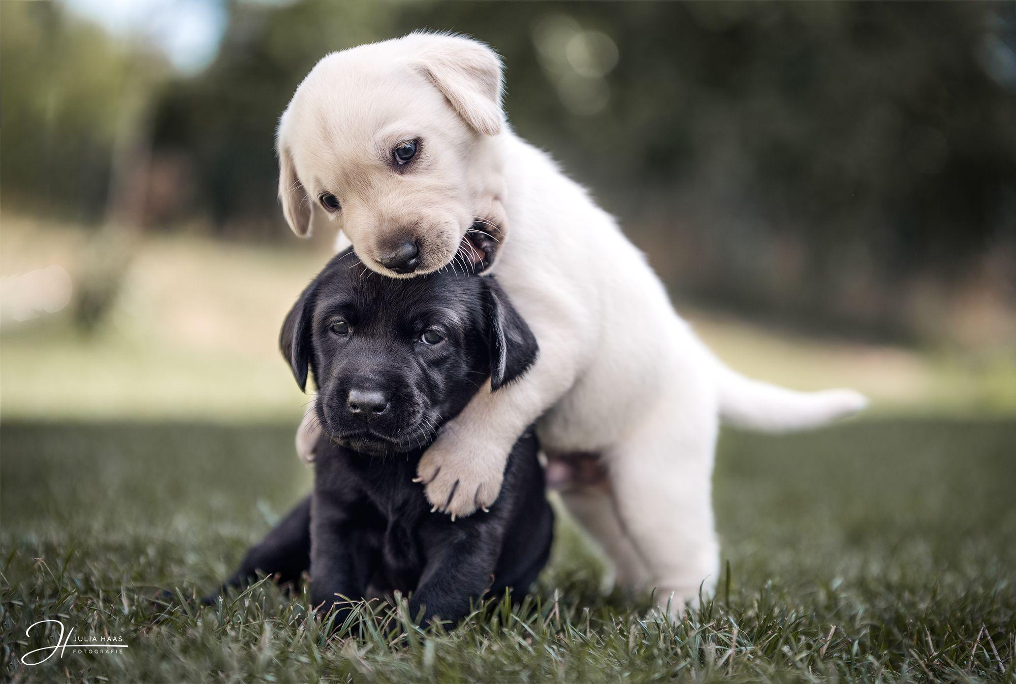 Labrador Welpen Spielen Gemeinsam Hund Dog Tierfotografie Hundekinder Ideen Inspiration Photography Outdoor Photoshop Labradorwelpen Labrador Babytiere