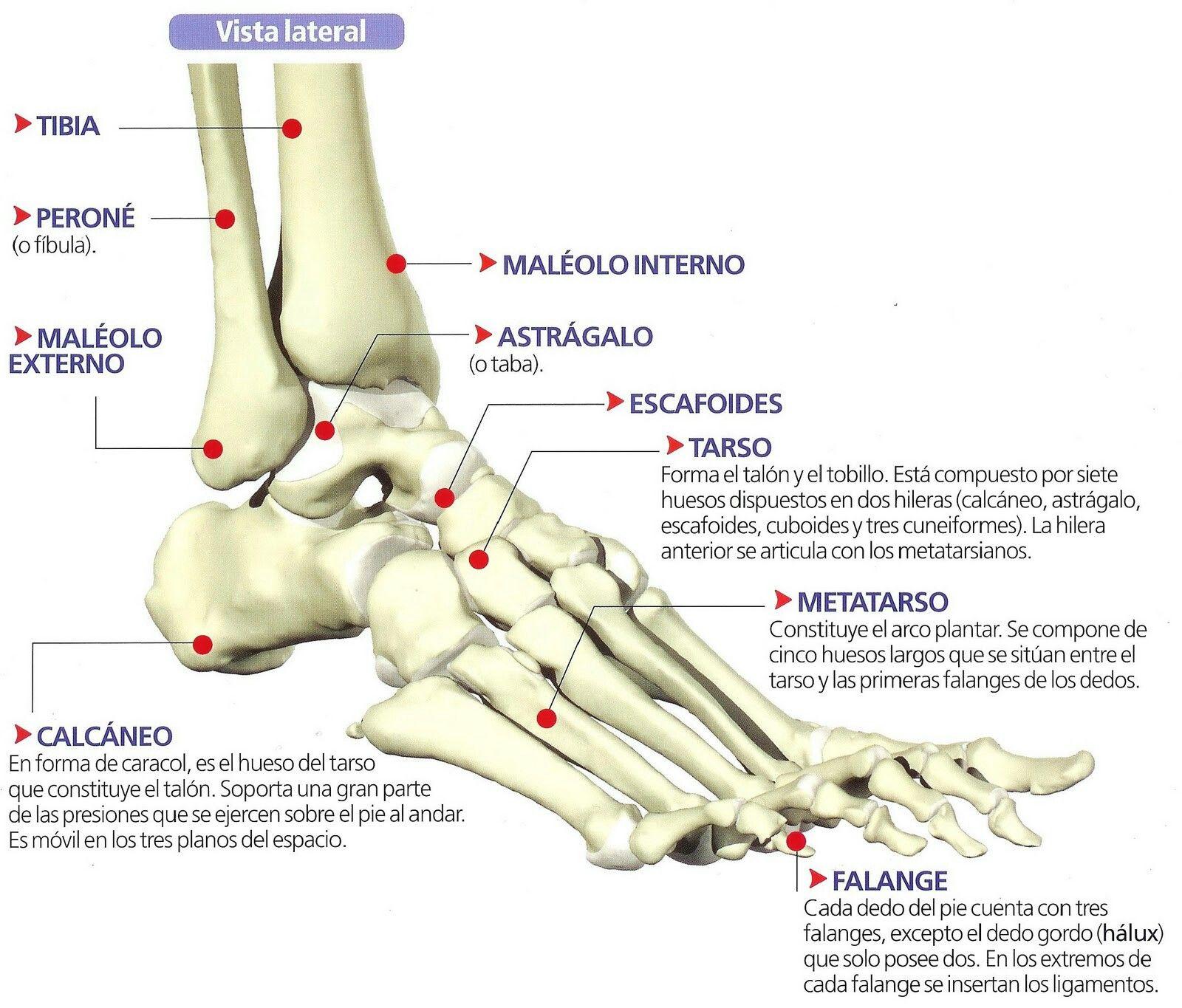 Anatomía del pie | SALUTTIC | Pinterest | Pies