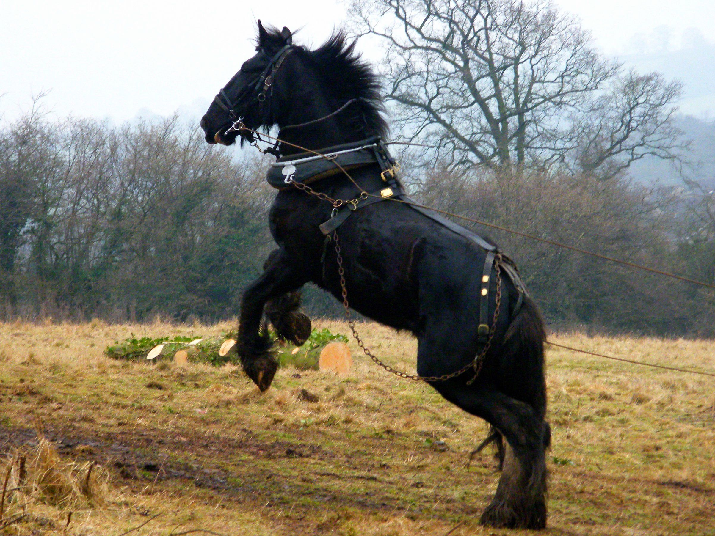 Colorful Pictures Of Draught Horses Black Shire Horse Horses Shire Horse Different Horse Breeds [ 1803 x 2404 Pixel ]
