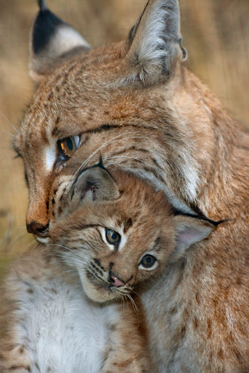 Mother Lynx Carrying Kitten In Her Mouth Small Wild Cats Animals Beautiful Cute Animals
