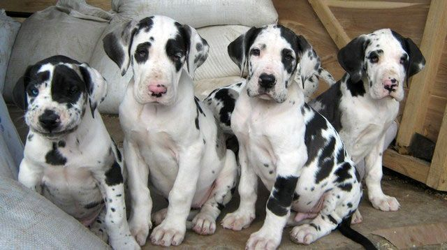 Stunning Great dane Puppies Puppies for Sale Great