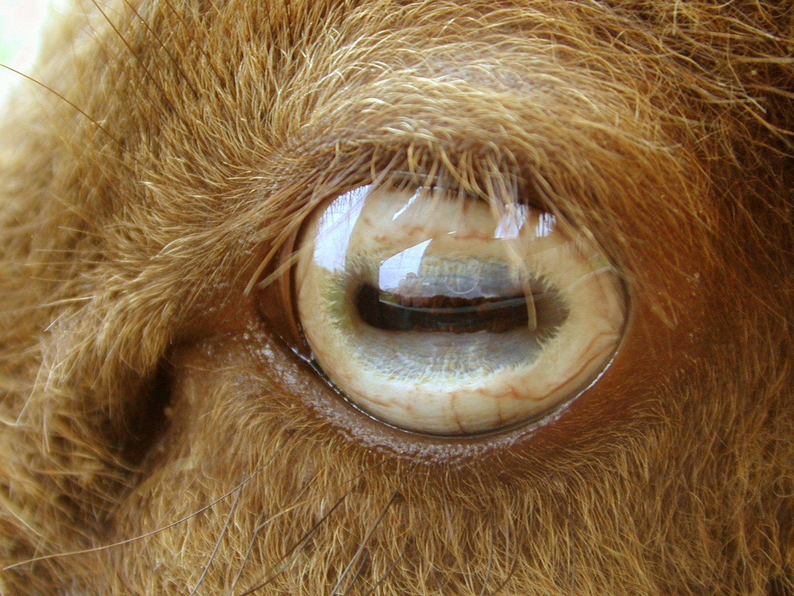 Pin By Tanya Peck On Eye Pictures Pinterest Eyes Animals And Goats
