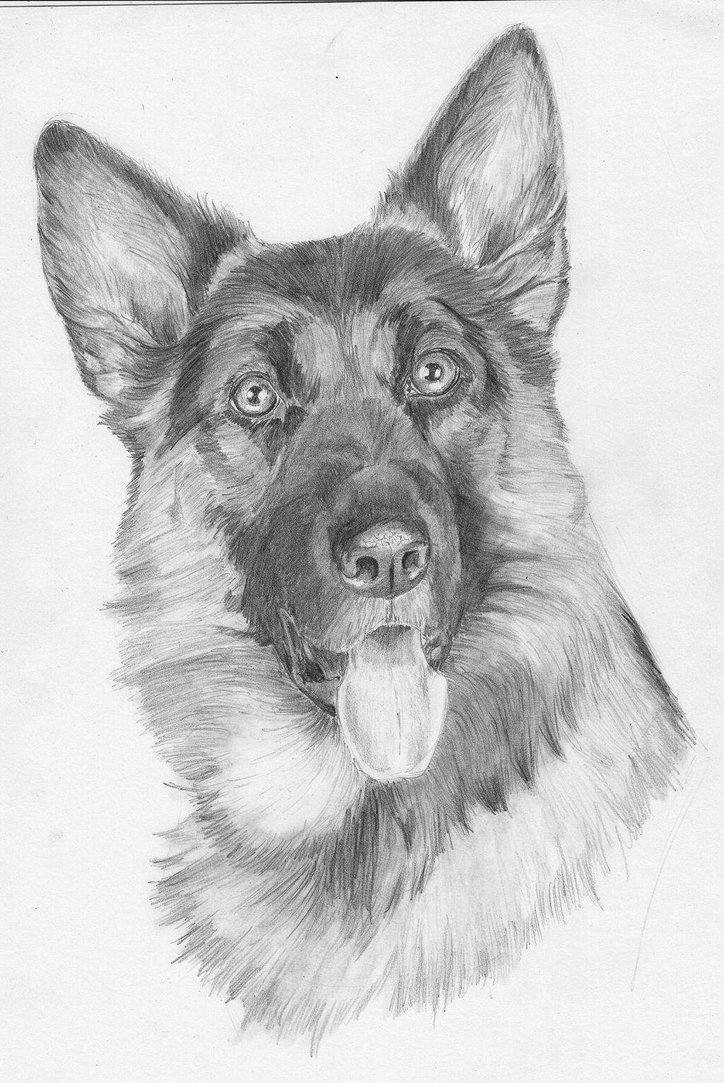 Kleurplaten Honden Duitse Herder.Deze Duitse Herder Heb Ik Nagetekend Van Een Foto Op