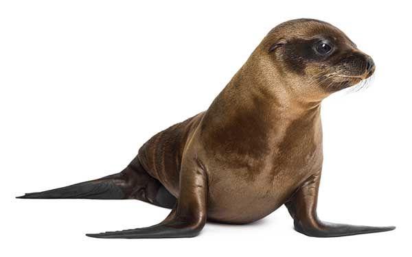 Pequeño león marino (Otariinae)   Mamíferos marinos   Pinterest ...