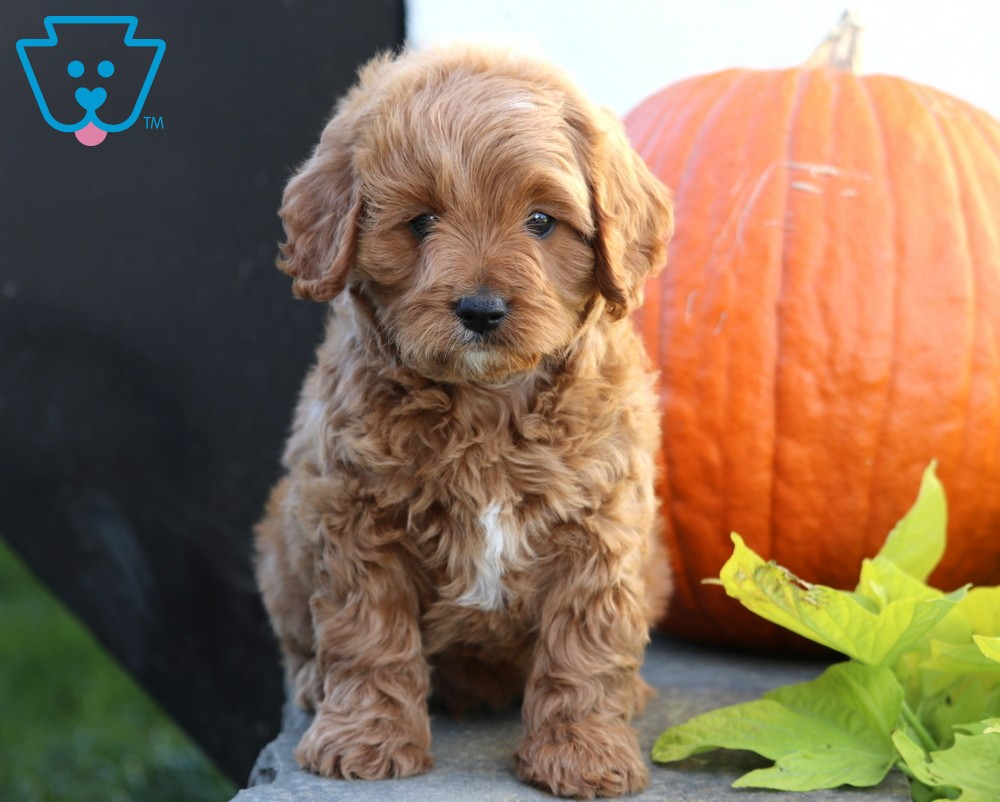 Rex Cavapoo Puppy For Sale Keystone Puppies Cavapoo Puppies Cavapoo Puppies For Sale Cavapoo