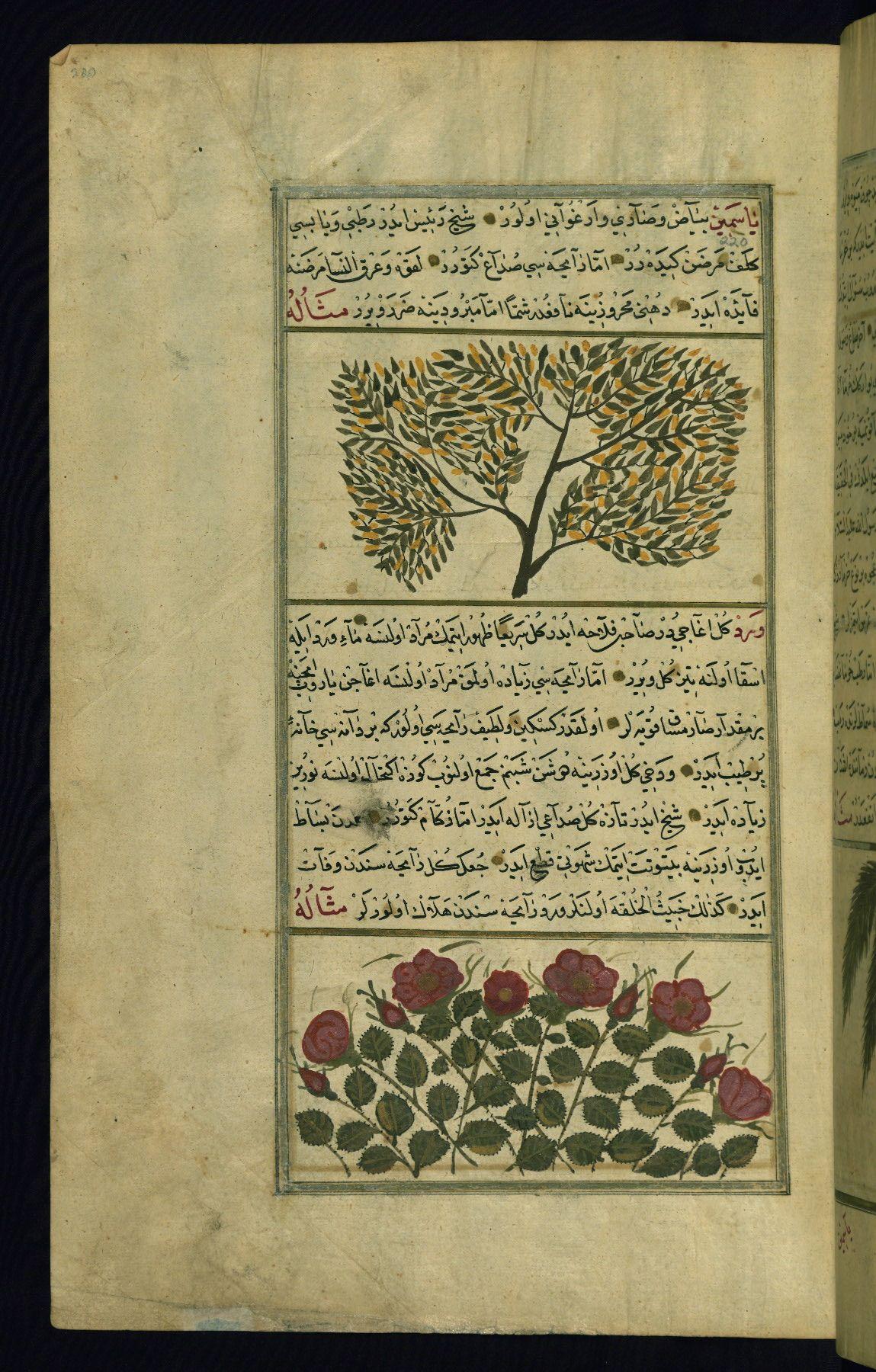 A jasmine bush and a rose bushWonders of Creation  by Qazwīnī 1293 was translated to Turkish in 1717  completed by Rūzmah-ʾi Nāthānī - W659