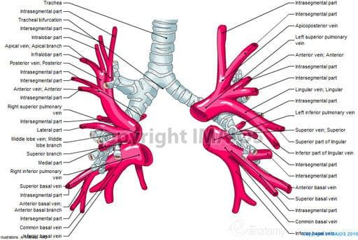 Pulmonary veins : Right superior pulmonary vein, Right inferior ...