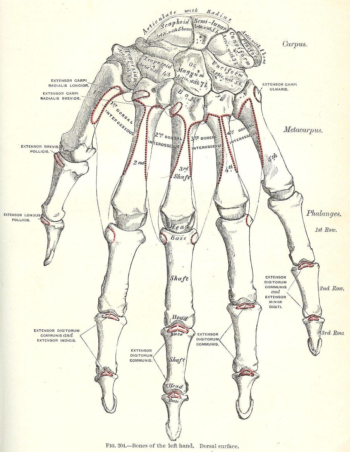 Printable Antique Graphics 1893 Grays Anatomy Illustrations