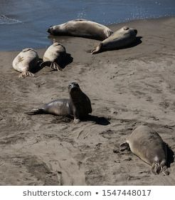 Sea lions resting on a Pacific Coast beach