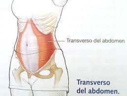 Transverso del abdomen musculo