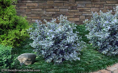 Buy Blue Shadow Fothergilla x intermedia FREE SHIPPING