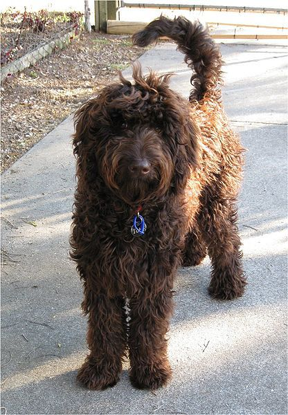 Large Shaggy Long Tailed Chocolate Brown Dog Stansding Facing
