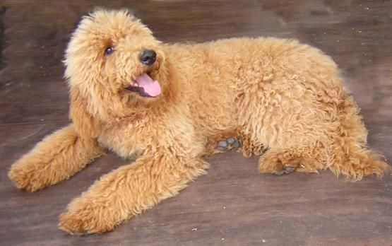 Wonderful Word Of Paris Poodles Colors Poodle Puppy Standard