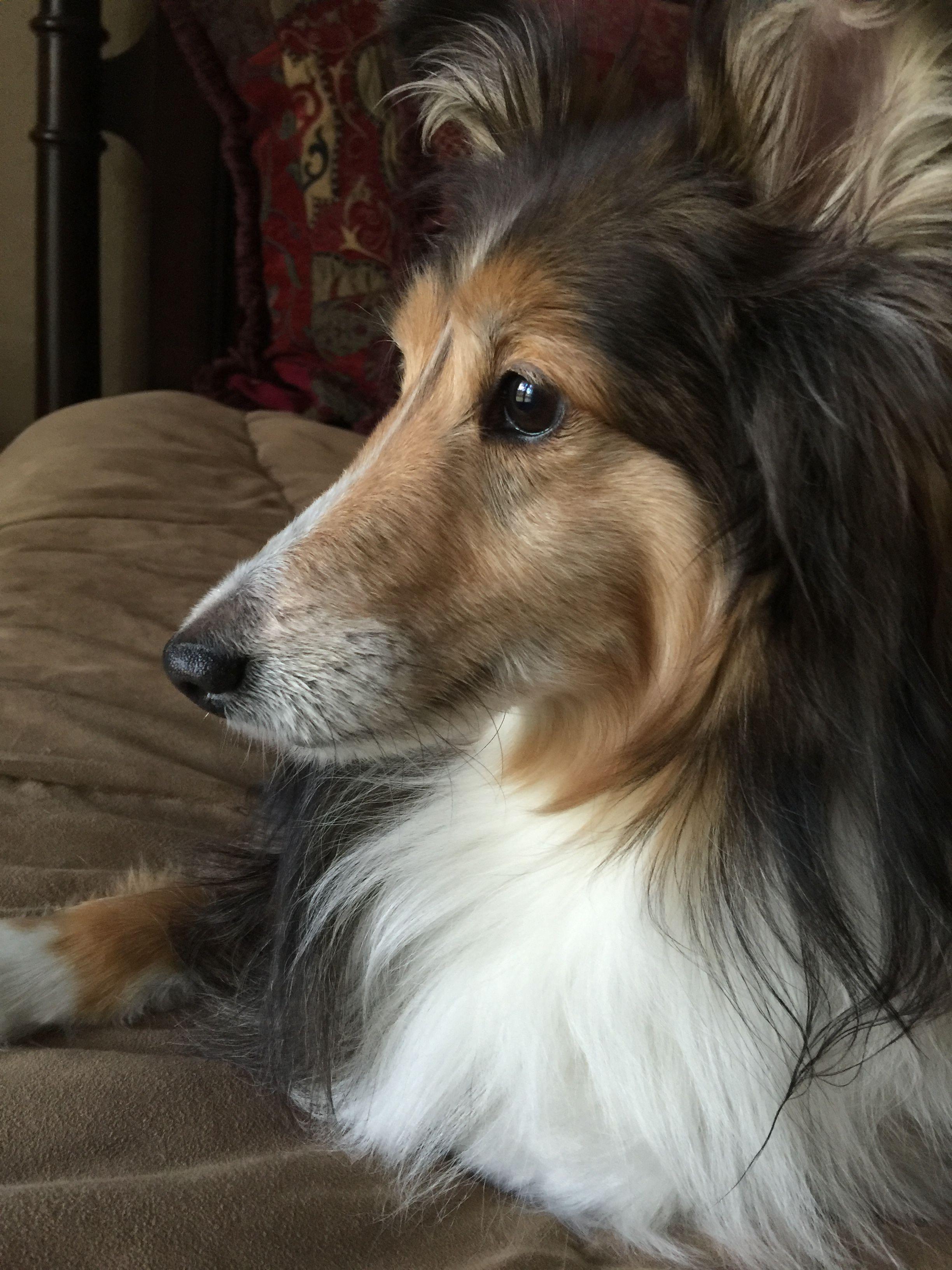 Pin By Christy Davis On Shelties Collie Dog Sheltie Pet Dogs