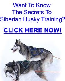 Siberian Husky Training Has A Unique Way To Implement These