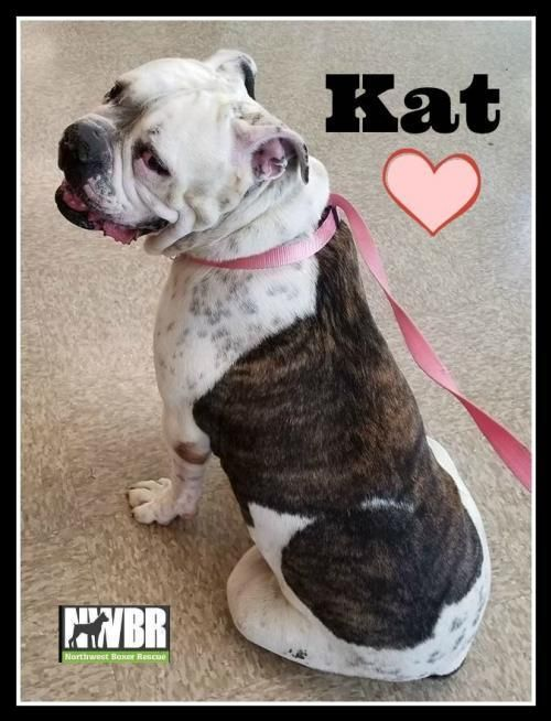 Pin by Northwest Boxer Rescue on NWBR Successes! Dog