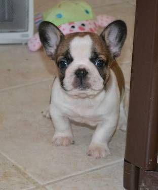 French Bull Dog Puppy Kennesaw Ga Www Edenfrenchies Com Cute