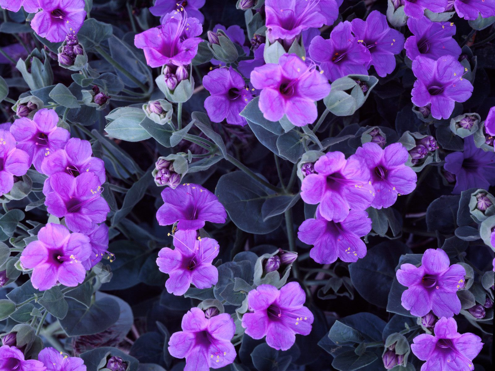 Most Beautiful Purple Flowers Euffslemani