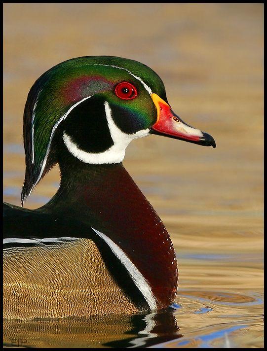 Wood Duck, E.J.Peiker, photographer