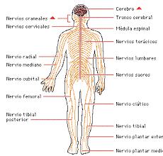 El Sistema Nervioso Dibujo Buscar Con Google Sistema Nervioso Periferico Sistema Nervioso Sistema Nervioso Central