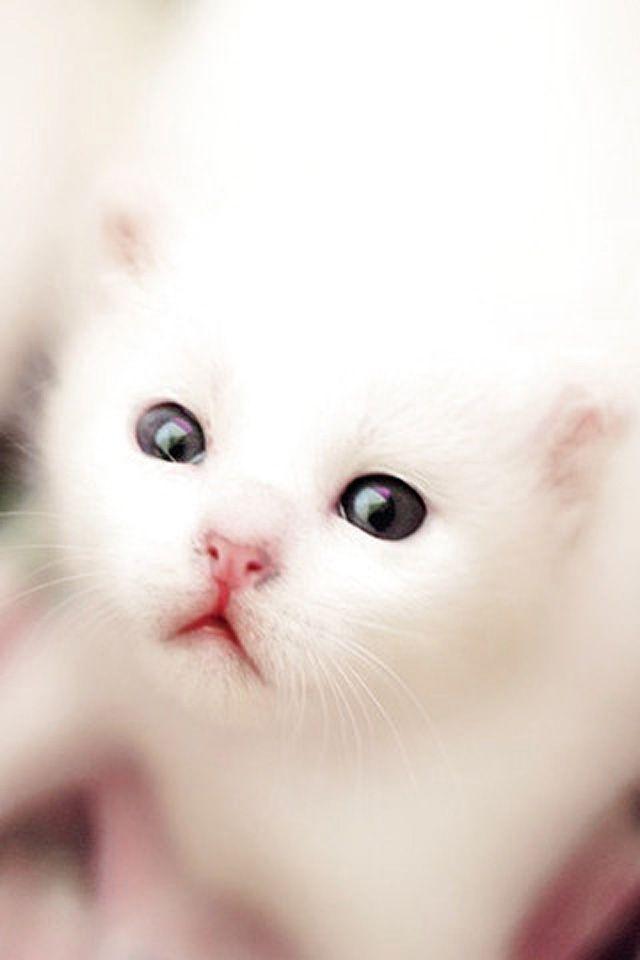White Kitten Iphone Wallpaper Enter Http Www Ilikewallpaper Net Iphone Wallpaper To Download More Free Wallpapers Kitten Wallpaper Cats White Kittens Beautiful white kitten wallpaper