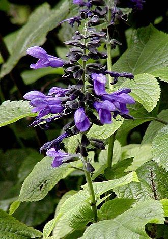 Salvia guaranitica Salvia guaranitica 'Black and Blue' blue flowers wth black sepals.  Blue anise sage is a semi-woody perennial subshrub with a loose, bushy, rather open form. Salvia guaranitica (Anise-scented sage, Hummingbird sage) is a species of Salvia native to a wide area of South America, including Brazil,