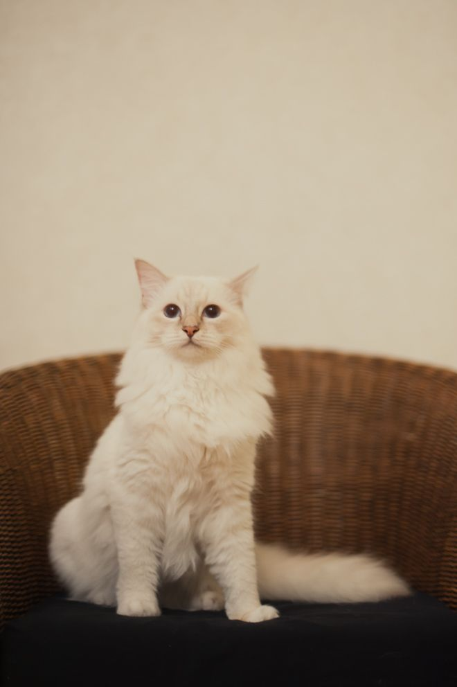 White cat on a chair.