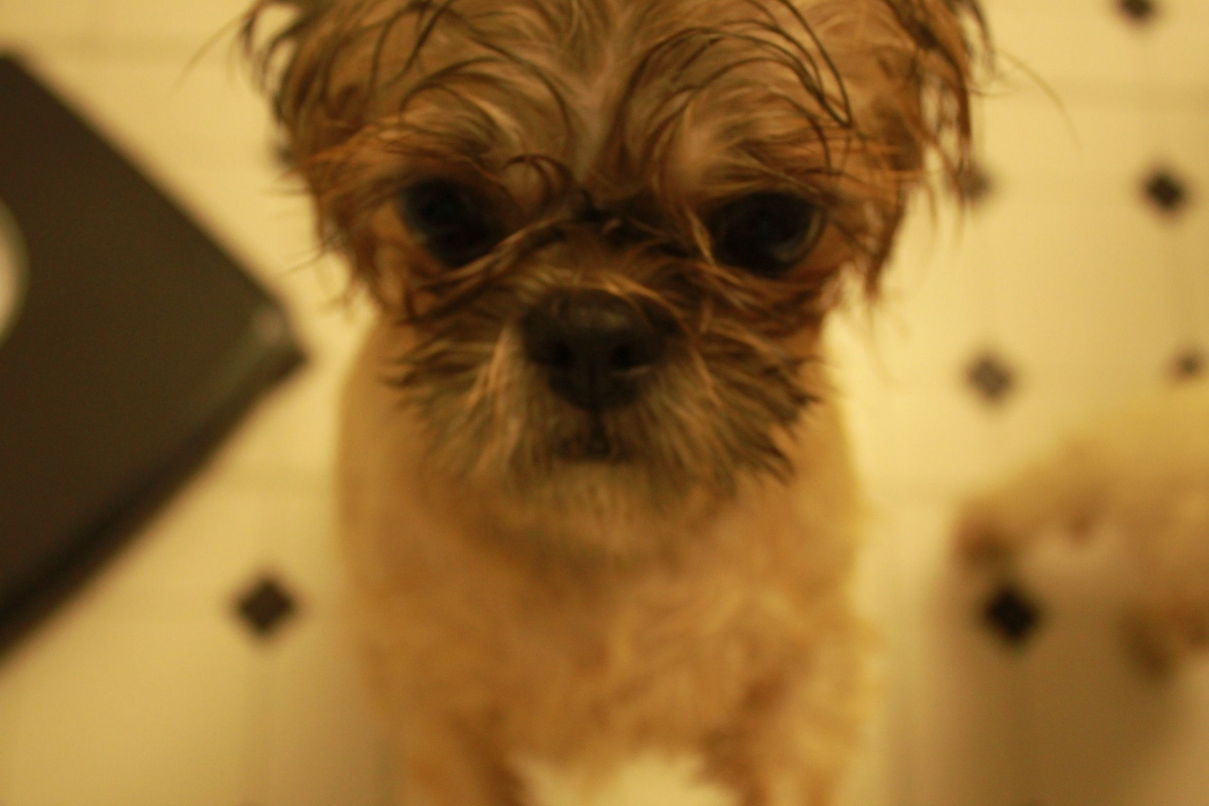 Libby the Pekingese after a bath.