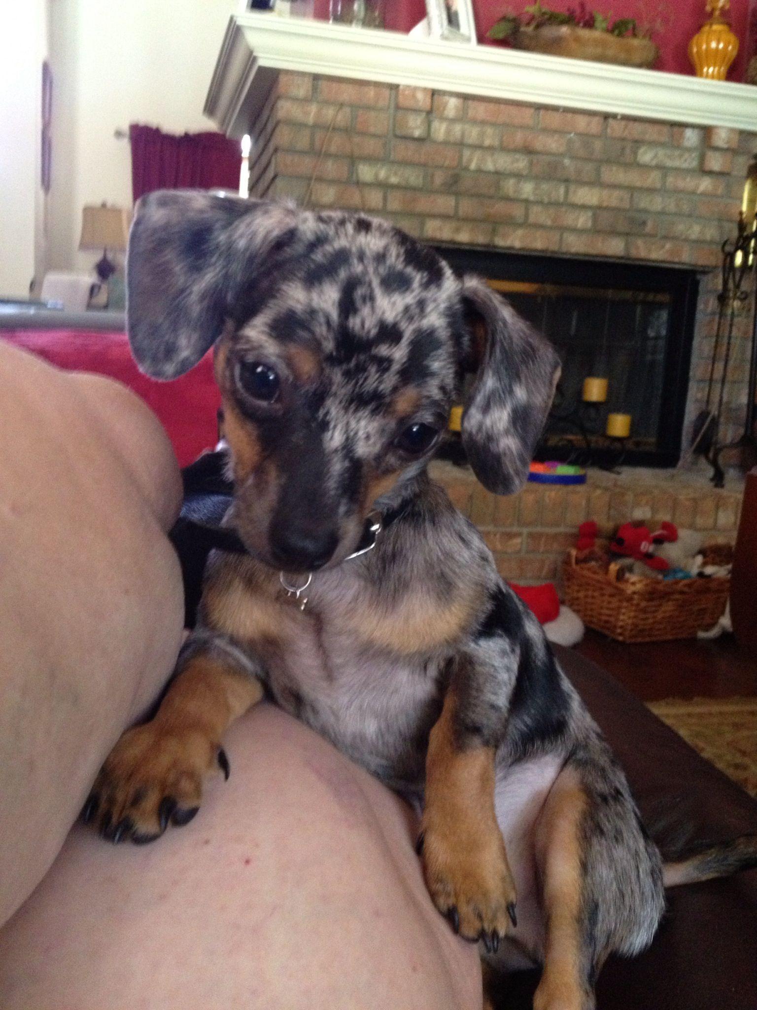 Dexter My New Chiweeniee Chiweenie Puppies Dapple Dachshund