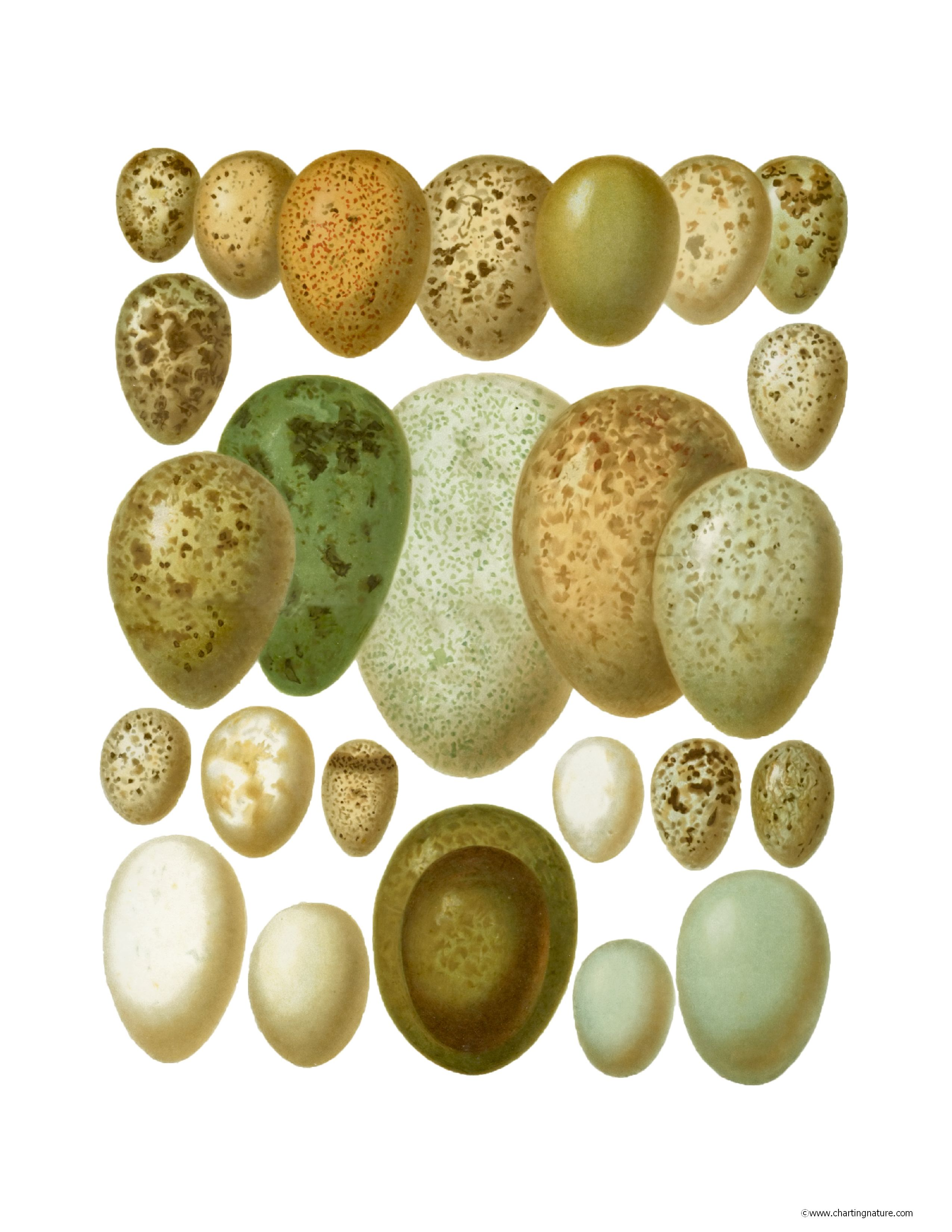 Bird Eggs | Charting Nature - Vintage Botanical, Fish and Wild Bird ...