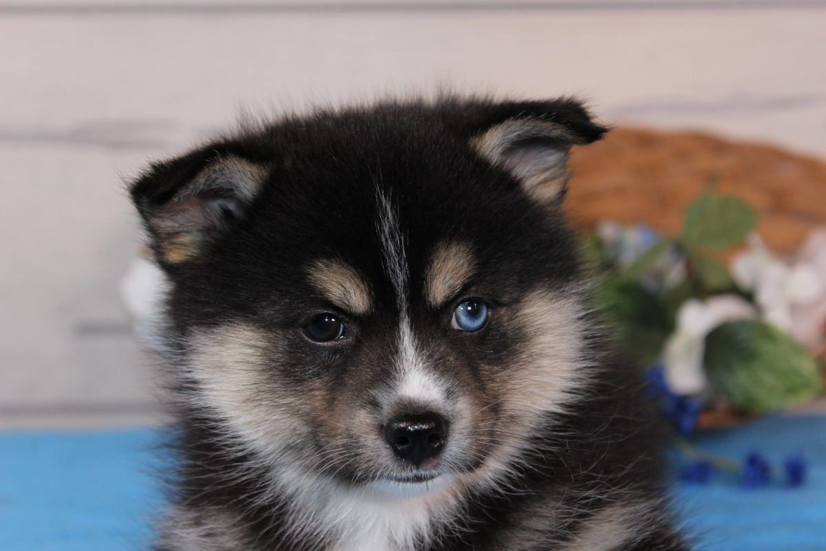 James Ckc Pomsky Puppy For Sale In Nappanee Indiana Pomsky