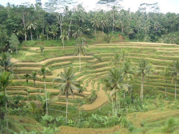 Rice paddy in Bali