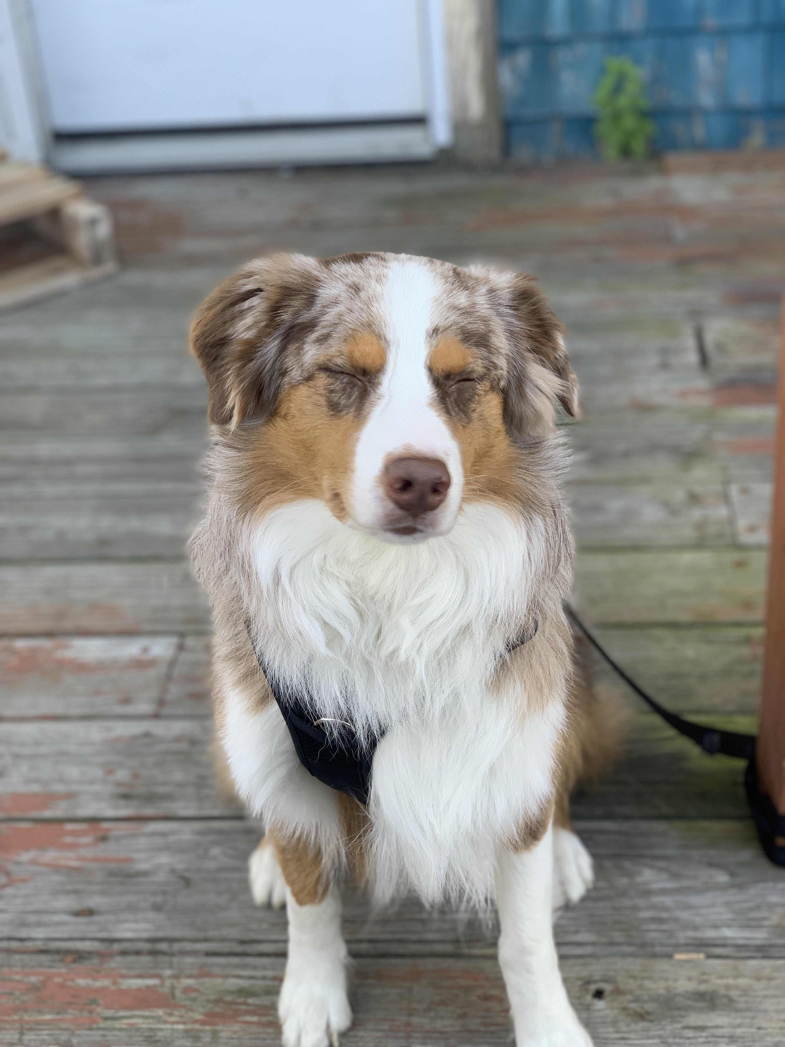 41 Australian Shepherd Mix Breed Reviews Aussie Dogs Cute