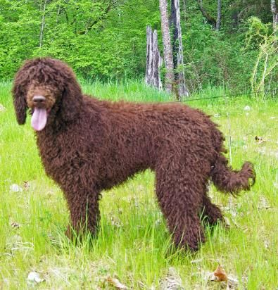Paris Poodles Standard Poodle Breeder Labradoodle Looking And