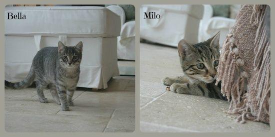 Tabby Kittens.