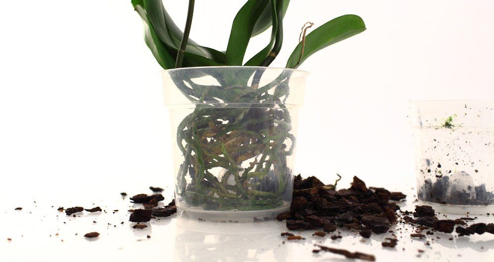 Orchid Repotting Repotting Orchids Orchid Roots Orchid Care