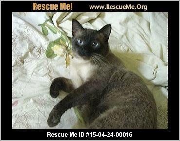 California Siamese Rescue Adoptions Rescueme Org Siamese Rescue Siamese Post Animal