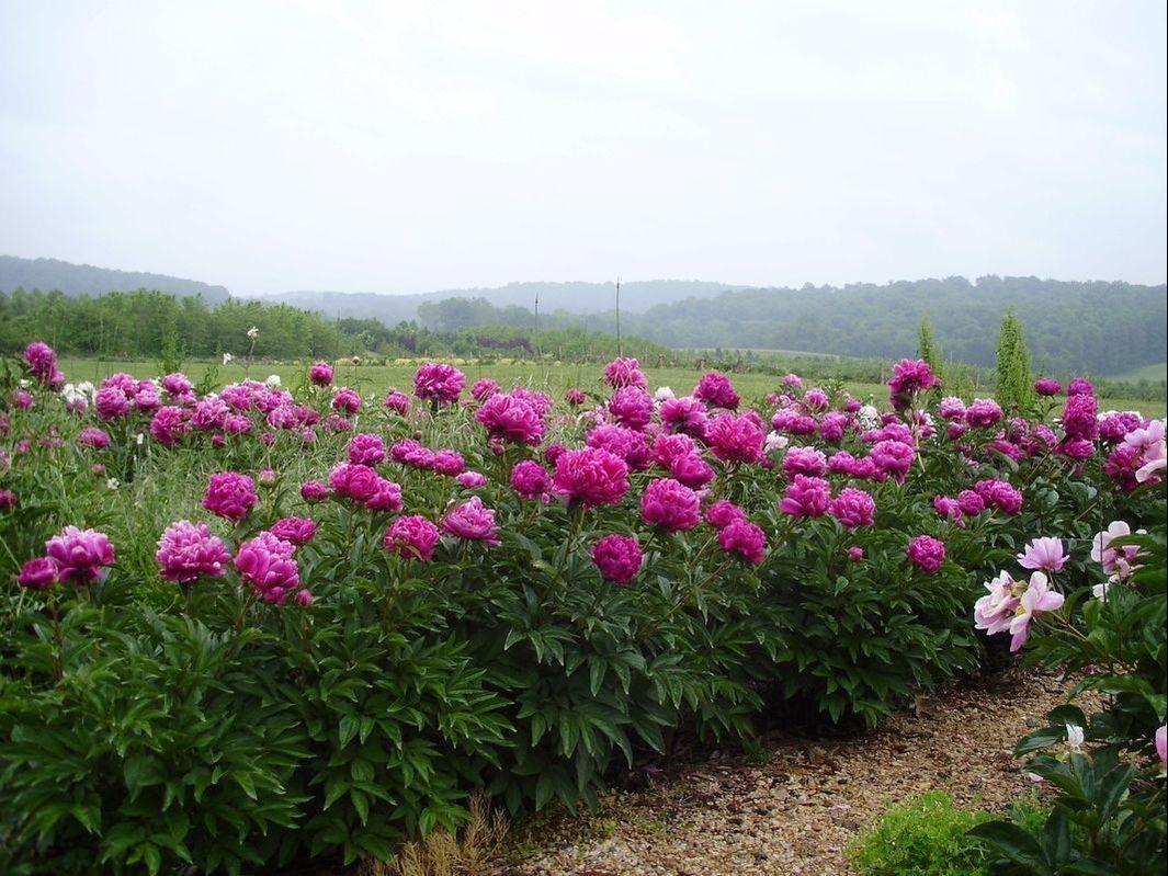 Picture Flower Farm Peony
