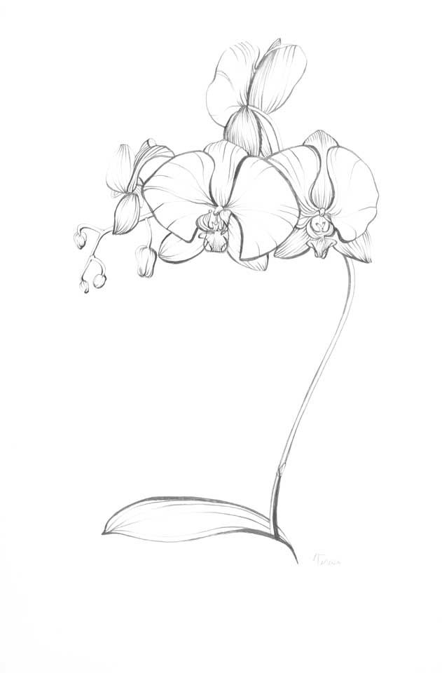 Pencil Drawings Of Orchids Blue Turtle Blue Turtle Com
