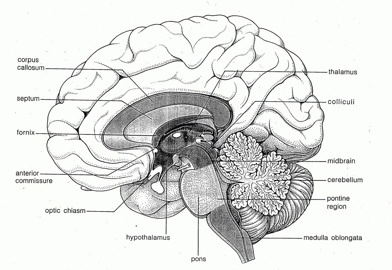 Detailed Blank Brain Diagram ~ DIAGRAM