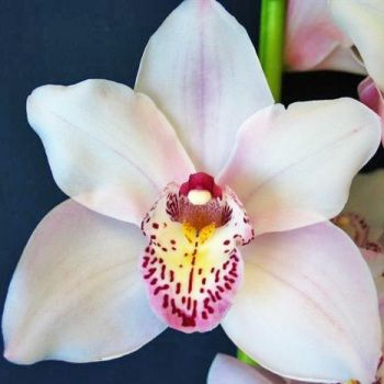 Cymbidium Orchids Blush With Pink Spotted Lip Fiftyflowers Orchids Cymbidium Orchids Flowers