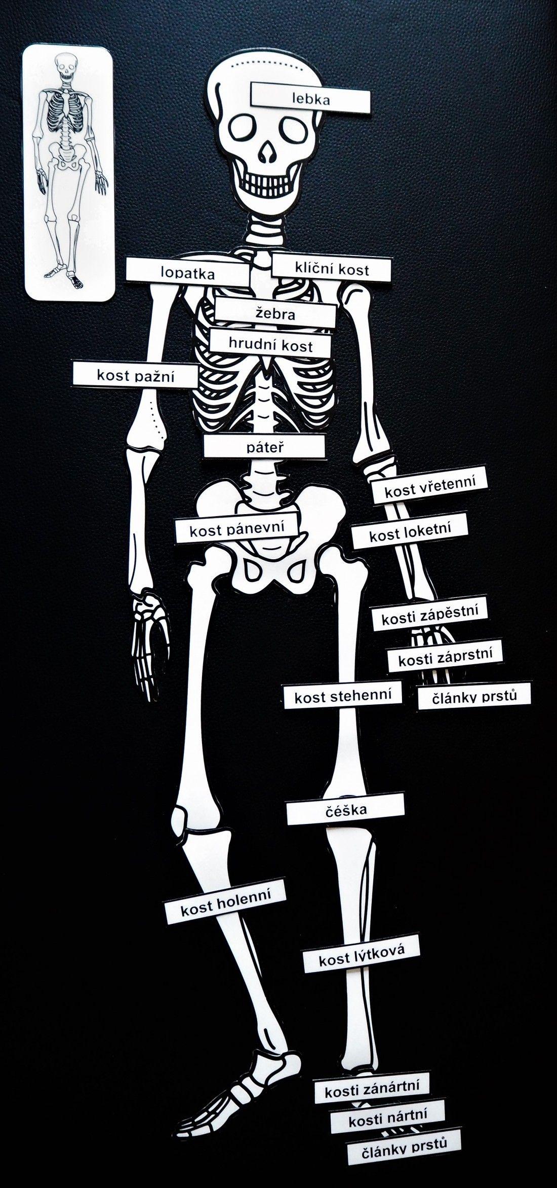 Produkt - Kostra | Lidské tělo | Lidské tělo