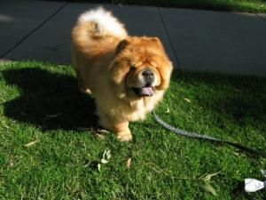 Adopt Chai Adopted On Chow Chow Dogs Pet Adoption Dogs