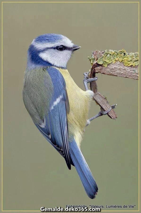 Blaumeise Bilder Blaumeise Vogel Als Haustiere Exotische Vogel