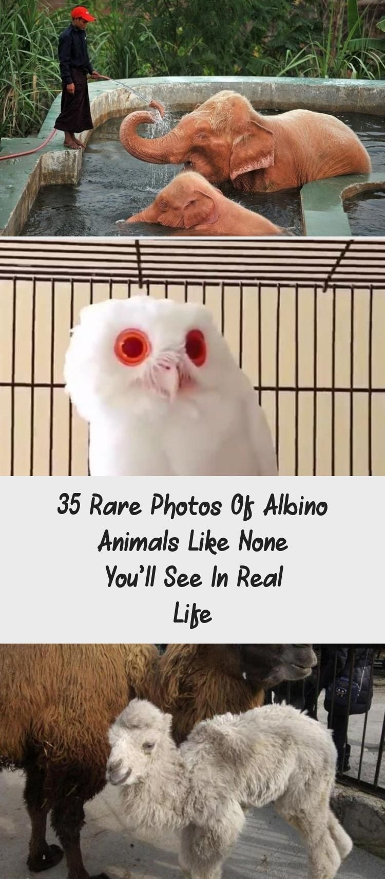 35 Rare Photos Of Albino Animals Like None You'll See In Real Life #albinoanimals 35 Rare Photos Of Albino Animals Like None You'll See In Real Life #OceanAnimals #FarmAnimals #SeaAnimals #AnimalsRaros #AnimalsRare #albinoanimals