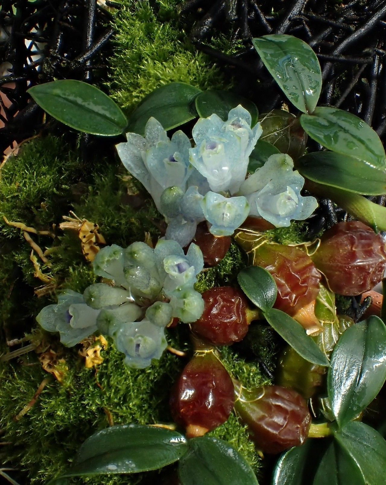 Orchid A Day Dendrobium Leucocyanum December 15 2017 Com