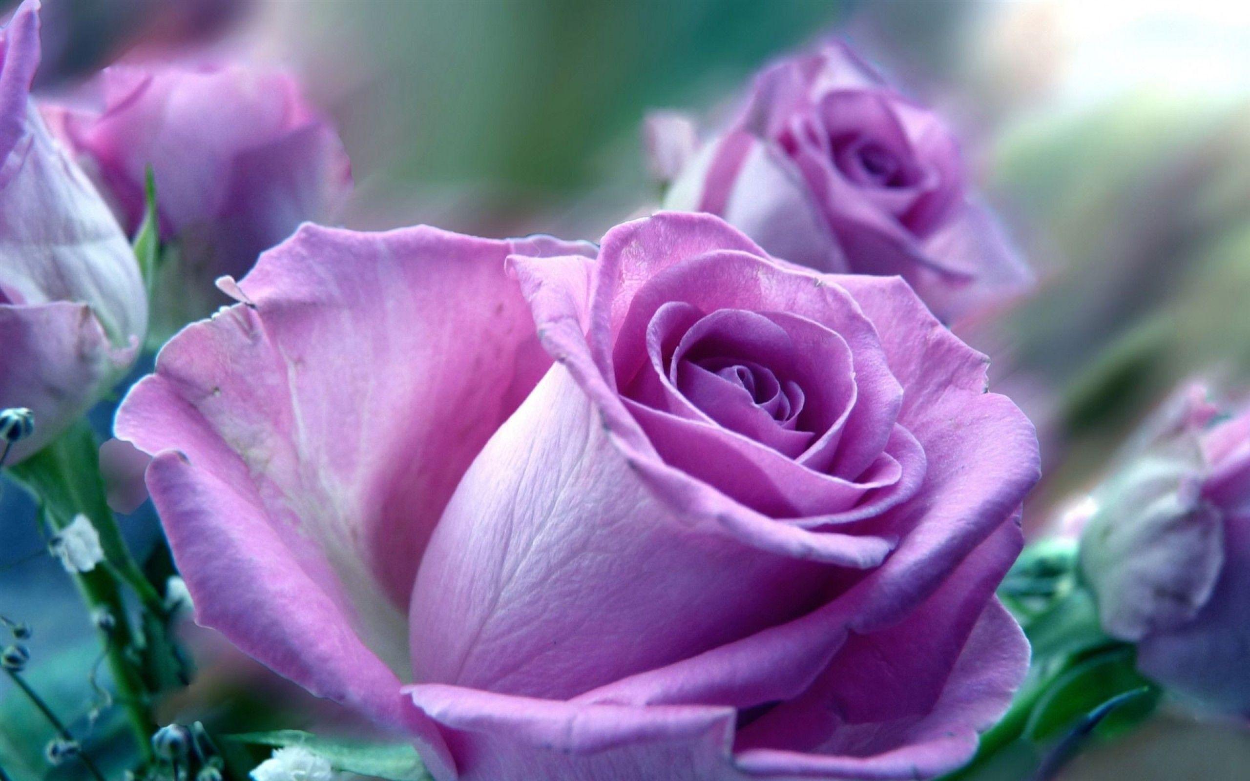 Purple Rose Flowers Hd Wallpaper Purple Roses Wallpaper Purple