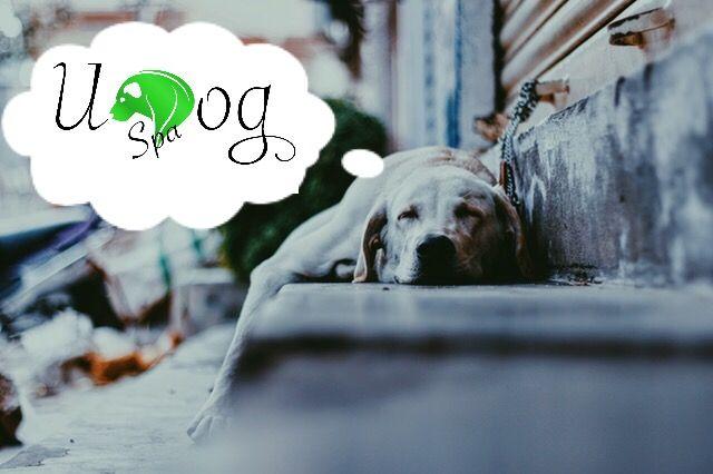 Kennst du das❓Dein Hund ist gestresst oder hat Muskelschmerzen? 🐕😩Ein Physiotherapeut ist zu teuer? 💶Du möchtest die Bindung zu deinem Hund vertiefen?🐶😁👌🏼 www.u-Dog.de/startspa zeigt dir wie du einfach Anwendungen in kürzester Zeit erlernen kannst 😍🐶 Damit du und dein Hund zum echten Team werdet ‼️♥️