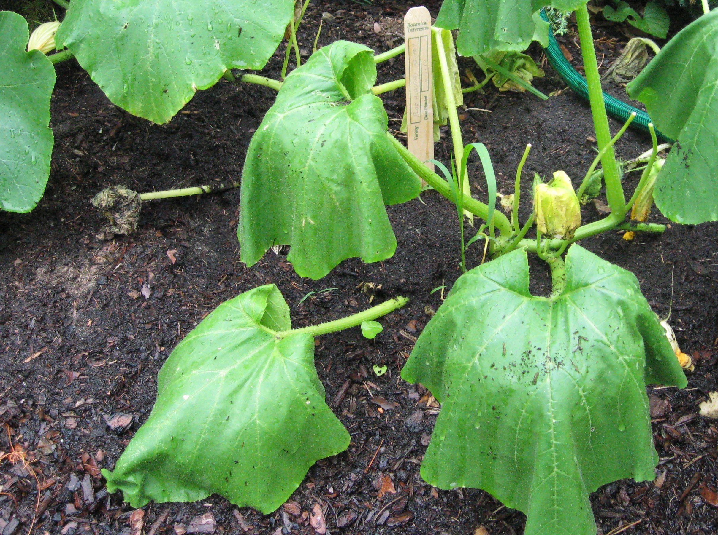 Prevent Squash Vine Borer Effectively Organically Planting
