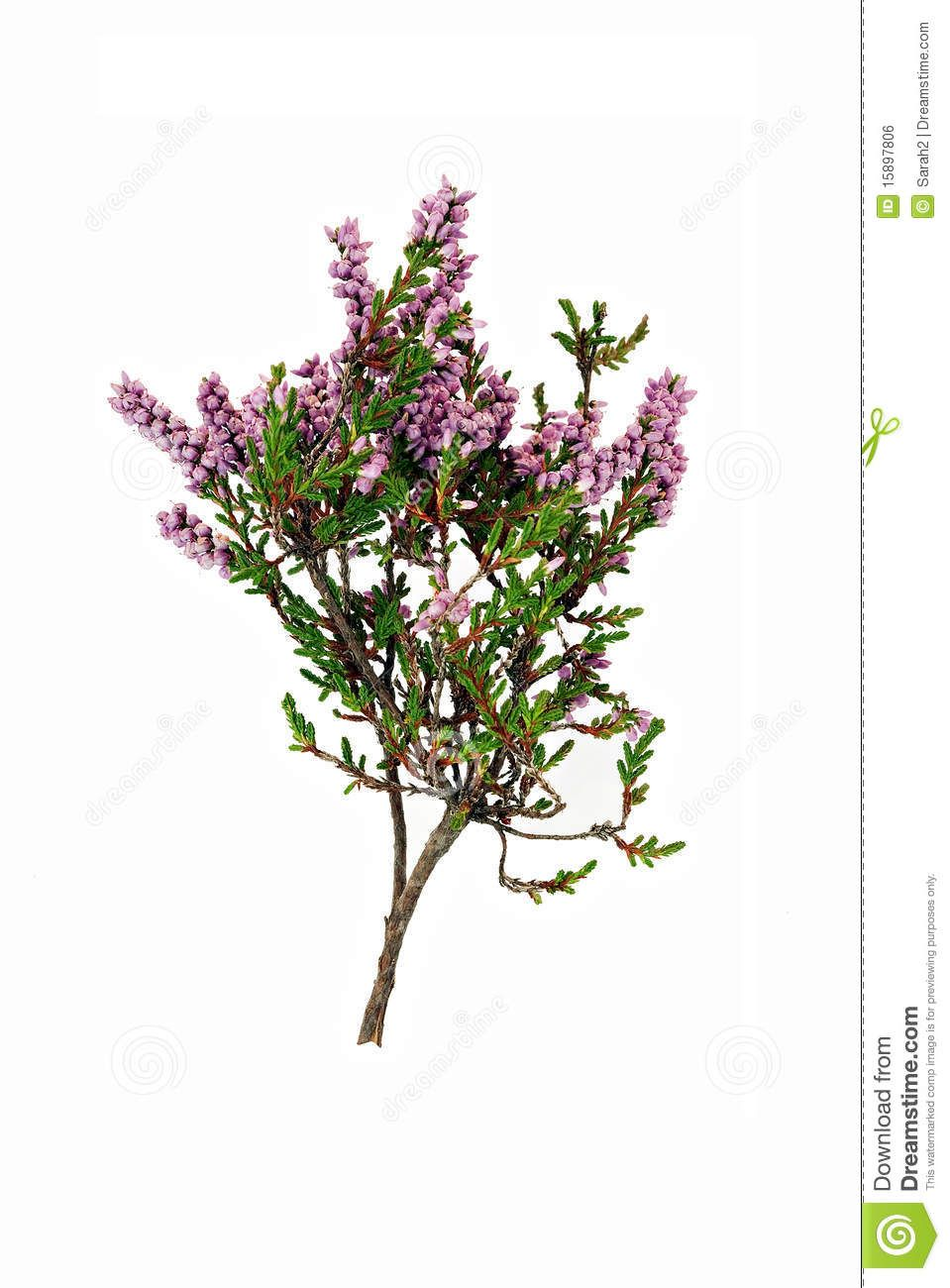 Sprig Purple Heather Isolated 15897806 Jpg 959 1300 Plants Flower Decorations Plant Drawing